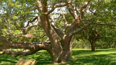Gumbo Limbo tree at DeSoto National Monument in Florida (photo credit: Wiki Commons)